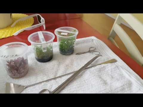 Tissue Cultured Aquarium Plants -A History & Biology Lesson