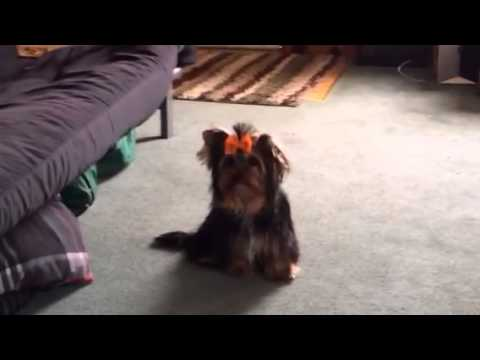 SHOW QUALITY FEMALE GRACIE - Biewer Terrier Puppy