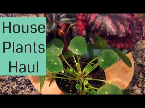 New House Plants  (Pilea Peperomioides, Peperomia, Begonia)