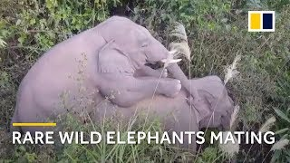 Rare footage shows Asian elephants mating
