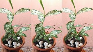 Dracena Godseffiana Plant Repotting || Indoor Plant || Dracena Surculosa