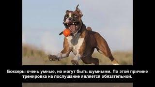 Породы собак|Собаки породы|Немецкий боксер