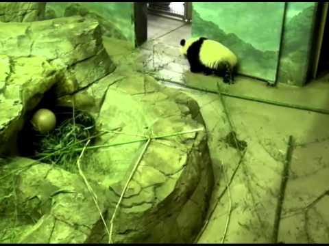 Bao Bao goes to see mom and keeper.   Oct 10, 2014  National Zoo