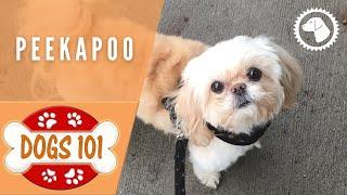 Dogs 101 - PEEKAPOO - Top Dog Facts about the PEEKAPOO | DOG BREEDS 🐶 #BrooklynsCorner