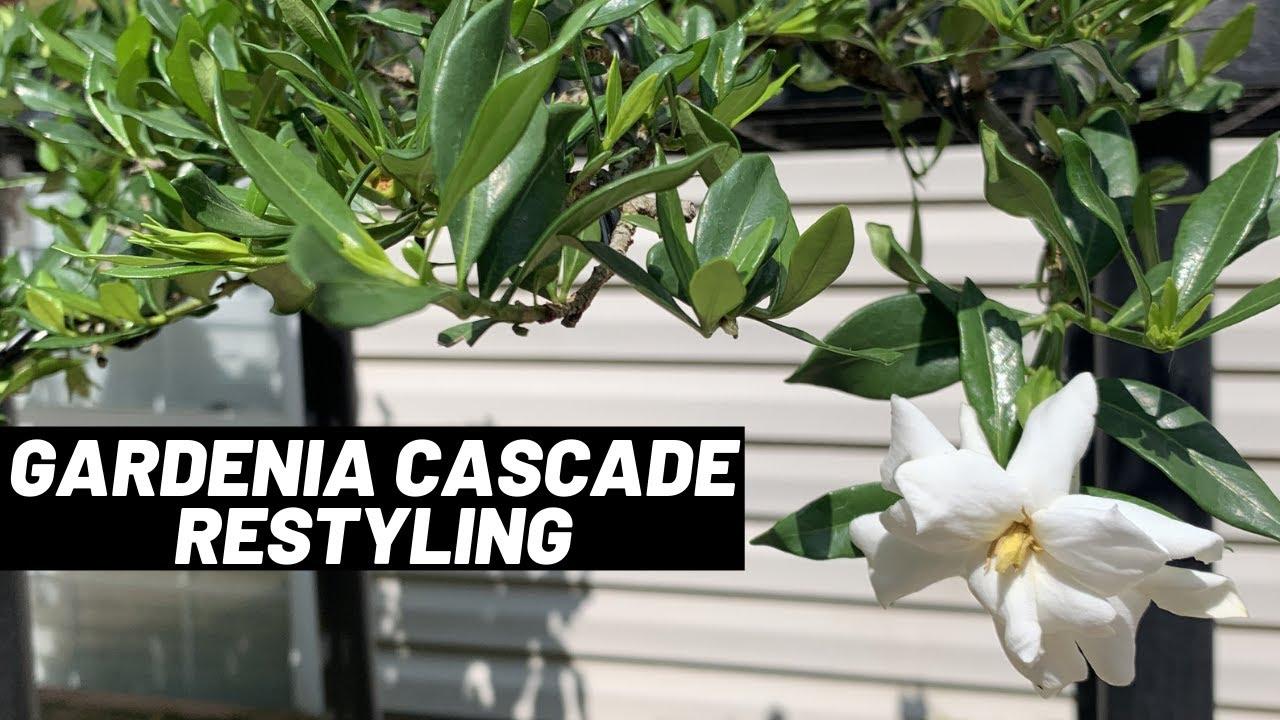 Dwarf Gardenia Cascade Restyling Work The Bonsai Supply Youtube