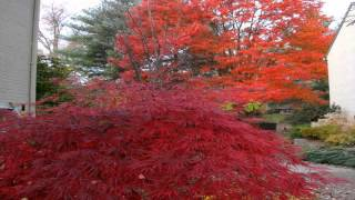 Japanese maple Most beautiful tree Out there