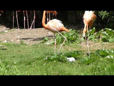 Caribbean flamingos and chick (2)