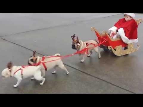 Reinpugs pulling kid santa In sleigh