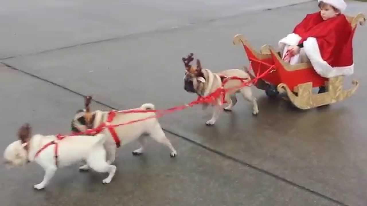 reinpugs pulling kid santa in sleigh youtube