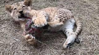 Веселые игры львят и тигрят в самом разгаре!