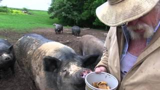 The Pig Preserve  -  Life on Their Terms
