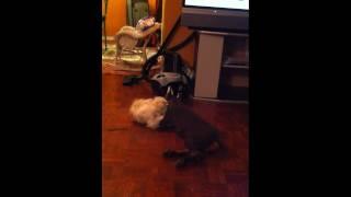 Doberman Vs Morkie And Yorkie Puppies