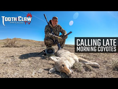 Calling Late Morning Coyotes – Coyote Hunting