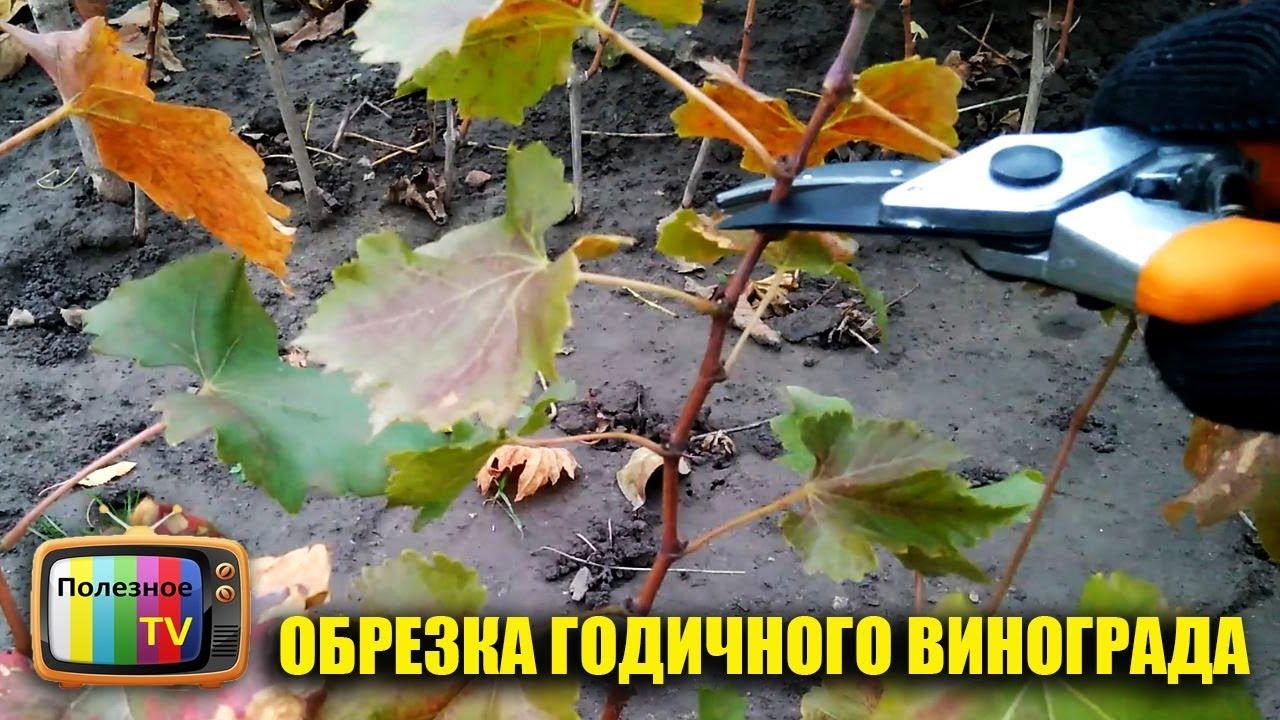 обрезка годовалого винограда