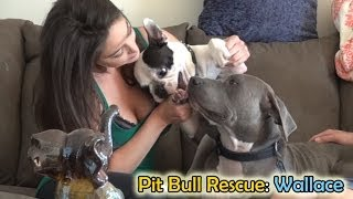 Mountain rescue of an abandoned injured Pit Bull - Please Share.