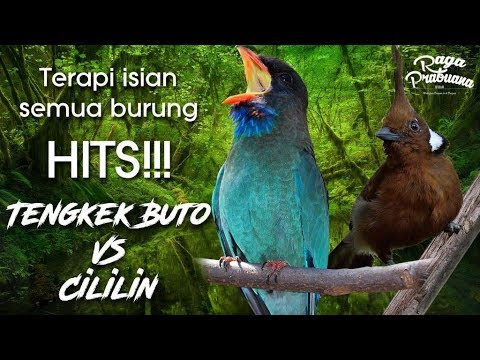 Terapi isian Burung paling Hits Tengkek Buto vs Cililin HD