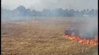 Burning of blast affected wheat in BADC's Nurnagar Farm in Bangladesh in March 2016