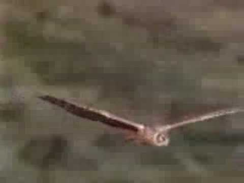 Hen harrier (marsh hawk) search flight