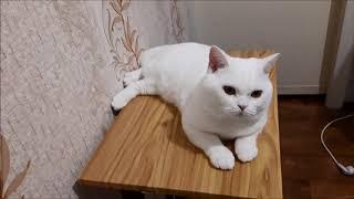 0001 Британский кот белого окраса 1,5 года  Продажа