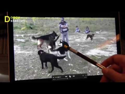 【映像で解析】犬の世界の叱り方:DOGGY STATION Vol.37 (愛犬と人との暮らしを考える番組)/犬のしつけ・問題行動・犬の心理学・犬の行動学・ドッグトレーナー・ドッグビヘイビアリスト