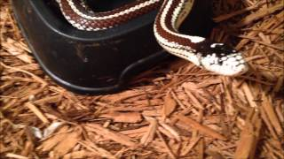 Snake Collection - Kingsnakes