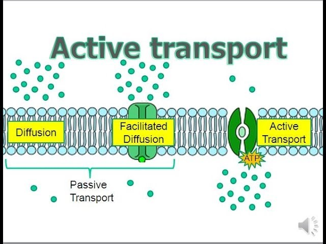 Active Transport Updated Youtube