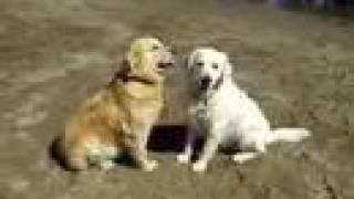 Golden Retriever Puppies  Www.englishcreamgolden.com