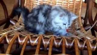 Продаются шотландские котята вискас хайленд
