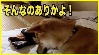 イタズラをしたペットの柴犬を叱った時にとった予想外の行動がこれ!可愛いかよ!【犬】