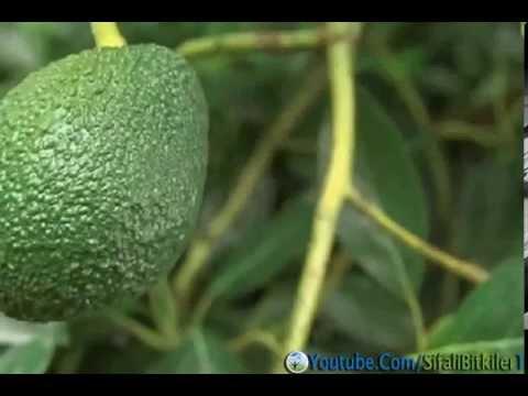Zayıflatan Meyve Avakado ve Avakadonun Faydaları