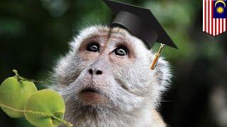 Sekolah monyet di Malaysia, melatih para pemetik kelapa handal - TomoNews