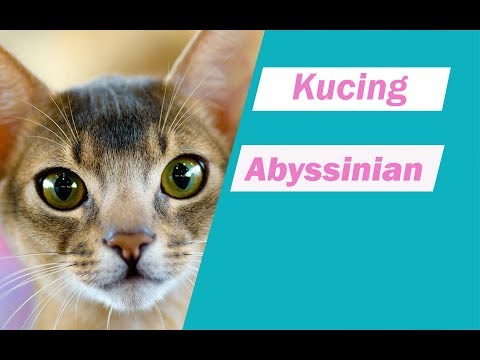 info ras kucing Abyssinian