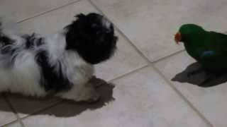 Barkly & Mr Pickles - Let's Play - Shih Tzu Puppy & Eclectus