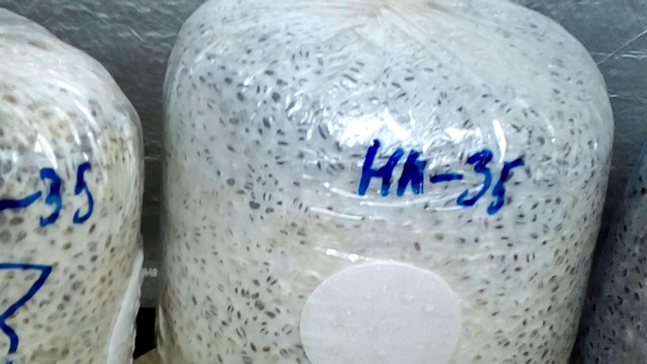 Мы предлагаем мицелий грибов на субстрате и древесных палочках. Поставки мицелий каждый месяц, приобретайте свежий мицелий грибов!