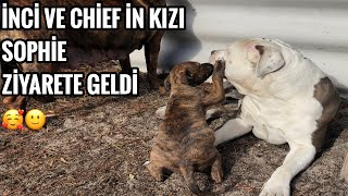 PİTBULL İNCİ VE AMSTAFF CHİEF İN KIZI BİZİ ZİYARETE GELDİ!