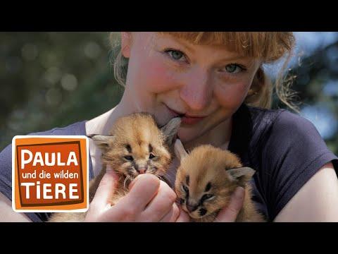 Wer Heißt Hier Karakal? (Doku)   Reportage Für Kinder Paula Und Die Wilden Tiere