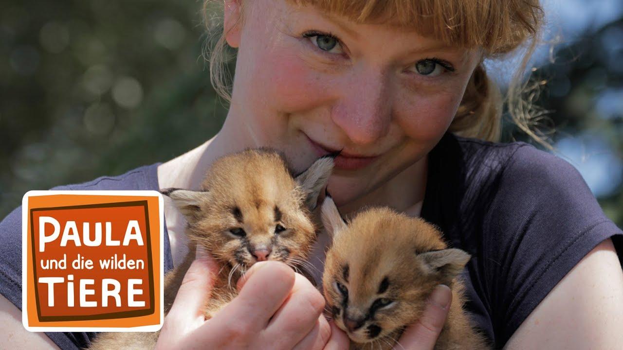 Wer Heisst Hier Karakal Doku Reportage Fur Kinder Paula Und Die Wilden Tiere Youtube