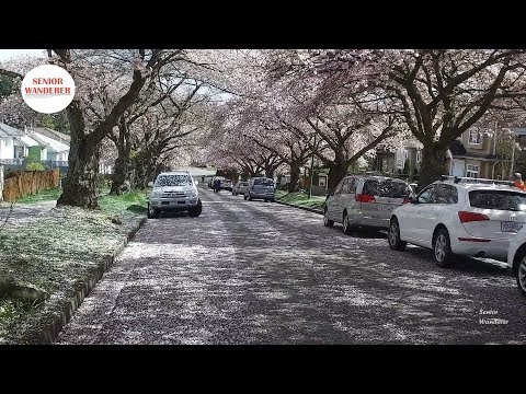 Vancouver street walk, EP 47 - Cherry Blossoms falling like snow on Graveley Street