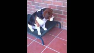 Beagalier (beagle X King Charles  Cavalier