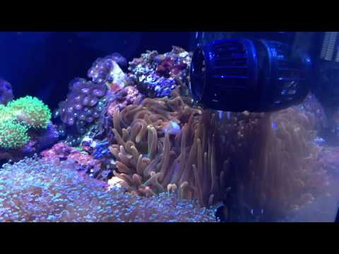 How to: Feeding a Rose Bubble Tip Anemone