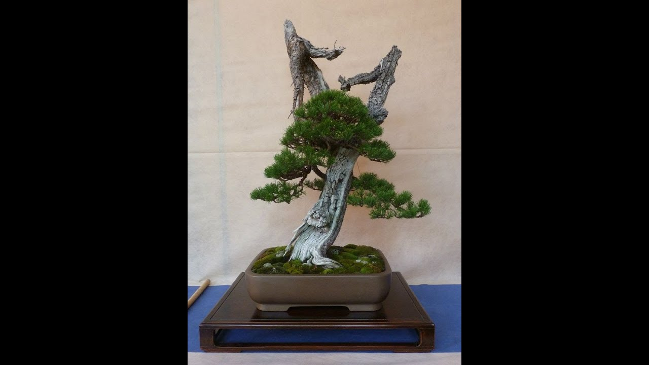 l 39 italia bonsai al lavoro giareda 2013 youtube