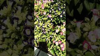 花 ② トレニア Torenia 💖登録者200人達成記念💘 説明は▼ポチ 🔴大音量に注意🔴
