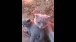 Продаются шотландские котята 8 967 232 60 98