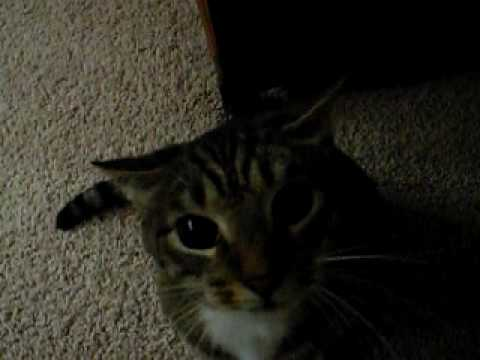 angry but funny cat attack video