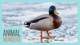 Why Don't Duck's Feet Freeze On Ice?