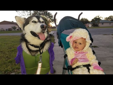 Malamute Goes Trick Or Treating!!