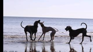Day On The Beach - Puppy Pippin & 2 Weimaraner