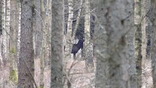 Żerujące byki na lesie