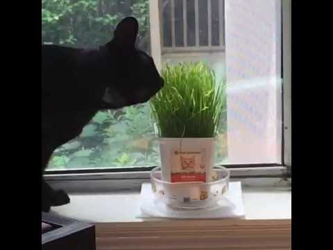 Oriental cat meets cat grass