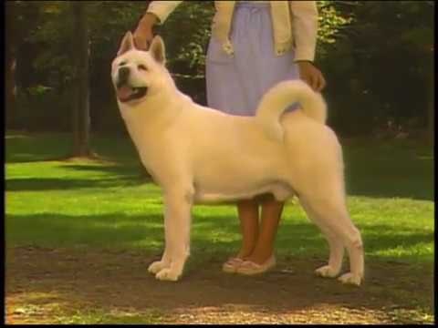 Akita - AKC Dog breed series